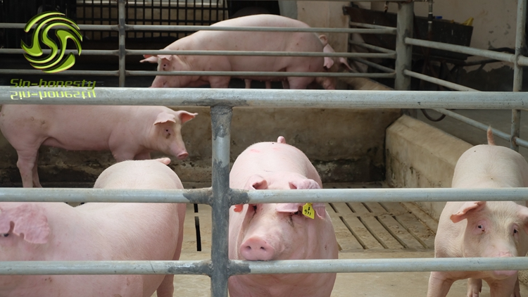 What factors should be considered when raising pigs